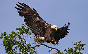 The Eagles of Decorah